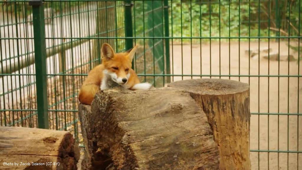 The Foxy Throne by B-JacobDawson