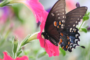 Butterfly in a Petunia by AliDee33