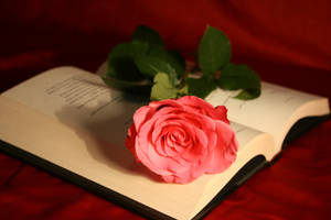 Rose on a Book Stock Photo by AliDee33