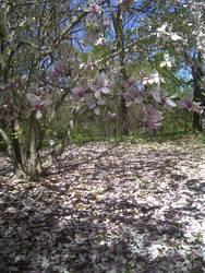 Magnolia Tree Stock Photo 2 by AliDee33