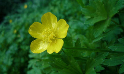 Buttercup by Renire