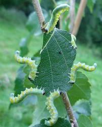Caterpillars by Renire