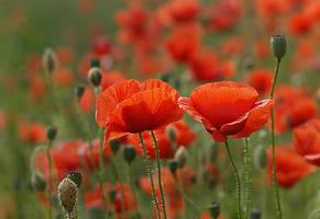 Poppy by Sintija