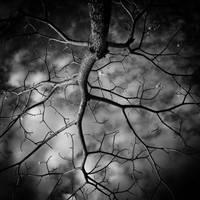 Wye Oak by Draken413o