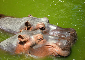 Hippopotumus by Kitty-On-Fire