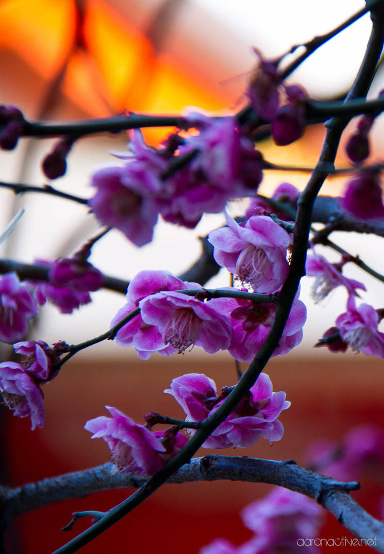 Plum Blossom - Japan by aaronactive