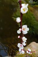 Japan Trip: Flowers by the Carp Pond by GlowingMember