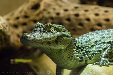 Spectacled caiman by haptomai