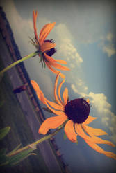 black eyed sunshine by givepeaceeachance