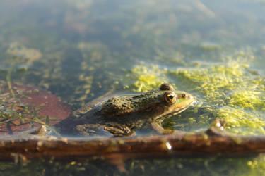 Water frog by Tarquinius-Superbus