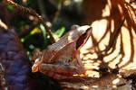 Moor frog by Tarquinius-Superbus