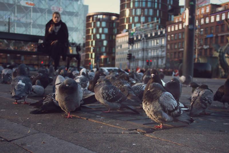 Street Pigeons of Copenhagen by Sarahorsomeone
