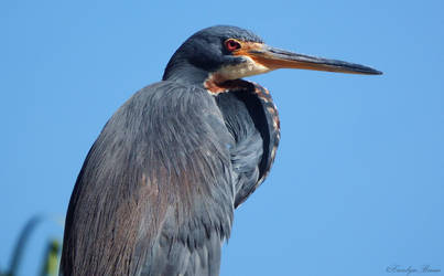 Blue Heron II. by Sparkle-Photography