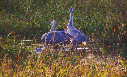 Sandhill Cranes. by Sparkle-Photography