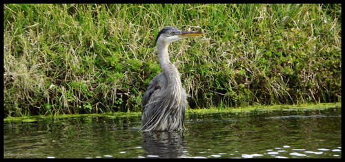 Heron. by Sparkle-Photography