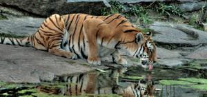 tiger 4 by Drezdany-stocks