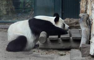 panda by Drezdany-stocks