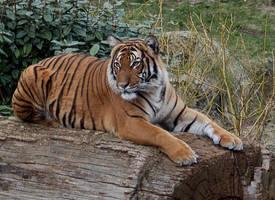 tiger 5 by Drezdany-stocks