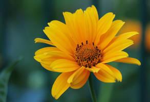 flower 17 by Drezdany-stocks