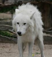 wolf 34 by Drezdany-stocks