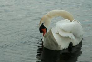 swan 2 by Drezdany-stocks