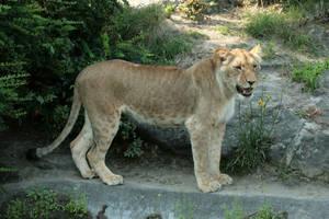 lion 6 by Drezdany-stocks