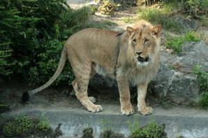 lion 7 by Drezdany-stocks
