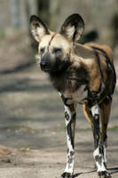 wild dog by Drezdany-stocks