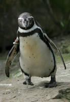 running penguin by Drezdany-stocks
