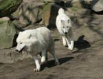 running white wolfes by Drezdany-stocks