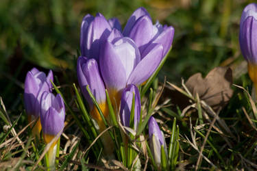 crocus by Drezdany-stocks