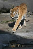 tiger 3 by Drezdany-stocks