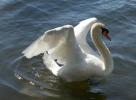 swan dancing by Drezdany-stocks