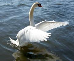 swan dancing 2 by Drezdany-stocks