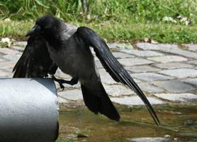 raven by Drezdany-stocks