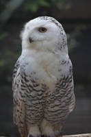 Snowy owl by ditney