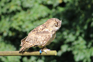 eagle owl by ditney