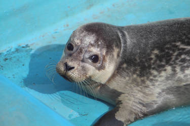 Seal pup by ditney