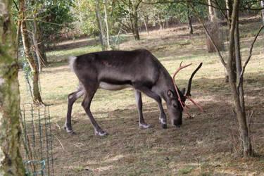 Reindeer by ditney