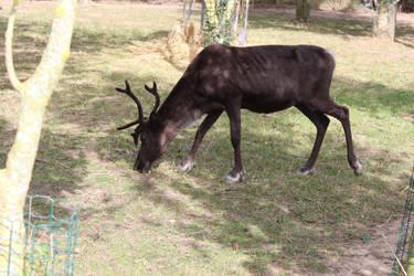 Reindeer 3 by ditney