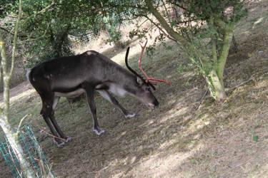 Reindeer 4 by ditney