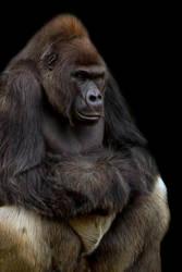 Gus Gorilla by ditney