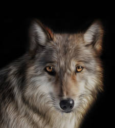 Wolf by ditney