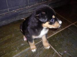 Cute Puppy by lady-warrior