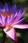 Water Lily by AbstractDr3ams
