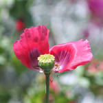 Poppy by AbstractDr3ams