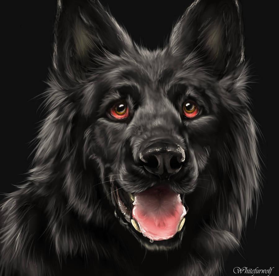 Black German Shepherd by Whitefurwolf