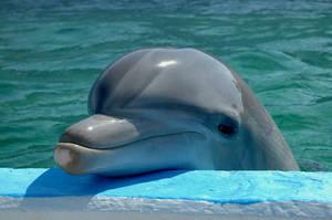 Dolphin Portrait by garnetART