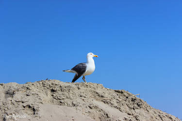 Staring Seagull by Titou-Revasse