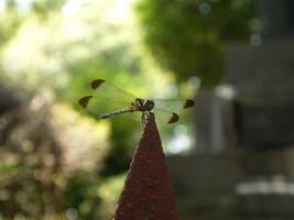 The Dragonfly by yume-ryuu